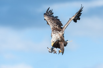 White tailed Eagle with prey