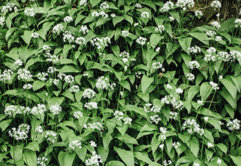Wild Garlic (Ramsons) growing in woodland. Derbyshire, UK.