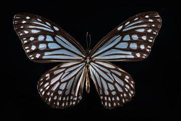 milkweed butterfly on black