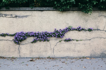 Pretty purple flower growing through the cracks in a wall