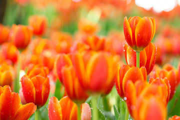 Foto op Canvas Tulp colorful orange tulips flowers in the garden