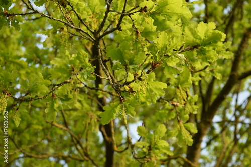 Chene En Fleur Stock Photo And Royalty Free Images On Fotolia Com