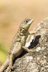 little lizard under the sunlight on a rock- tropidurinae