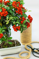Bonsai red ashberry with bright rowan berries on a light gray background.