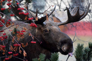 Moose Eating Berries