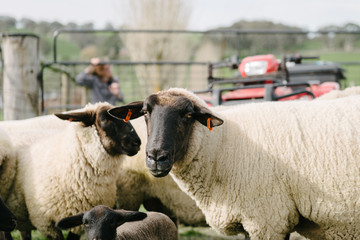 ewe with ear tags, corralled into a smaller pen