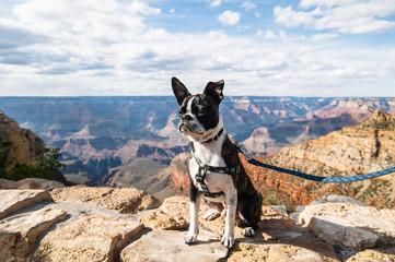 Bruce the Boston Terrier. Grand Canyon, AZ