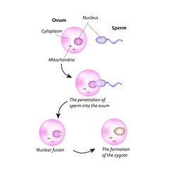 The structure of the ovum. The introduction of sperm into the ovum. Nuclear fusion. The formation of the zygote.
