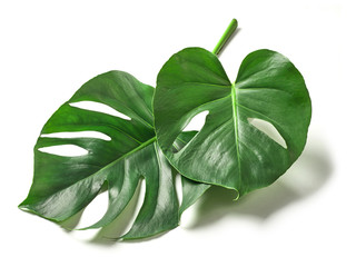 Tropical leaves of monstera plant