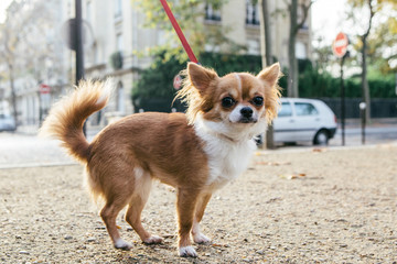Chihuahua on a lead in Paris