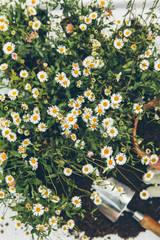 Willow Aster, daisy type flowers with gardening trowel and compost