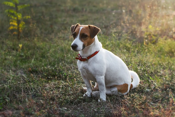 A small cute dog Jack Russell Terrier sitting on grass in the rays of the setting sun. Copy space