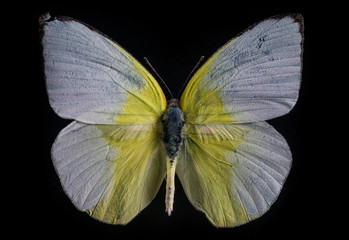 Lemon Emigrant white butterfly  on black background