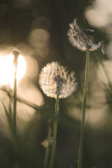 Dandelion bathing in the rays of the rising sun