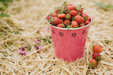 Bucket of freshly picked fresh strawberries