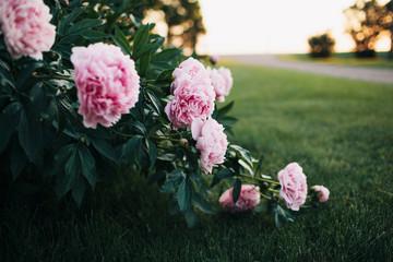 pink peony bush at sunset