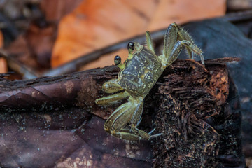Crab in Tortuguero National Park, Costa Rica