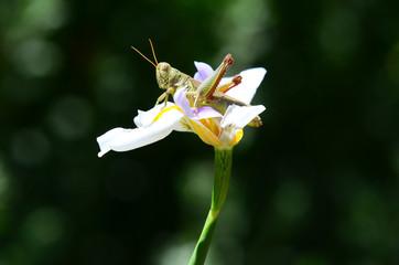 Grasshopper on iris