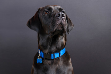 Shiny young black labrador wearing blue collar, looking away on black background Fotobehang