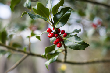 Christmas holly berries on a branch on a blurred background