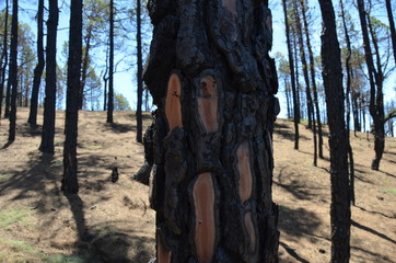 Trees burned in a forest fire on the Canarian island of La Palma in the foreground burnt bark 1