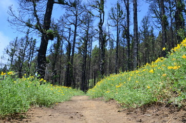 Fantastic hiking trail through a burnt forest with flowers on the edge on the Canary Island of La Palma