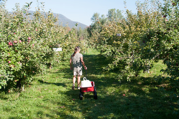 Woman pulling red wagon through an apple orchard.