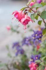 fleurs de fuchsia en décoration dans la rue