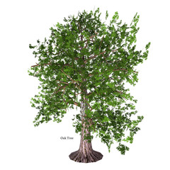 Oak Tree - The Oak tree comes in 600 different species as a deciduous or evergreen variety and develops an acorn fruit nut.