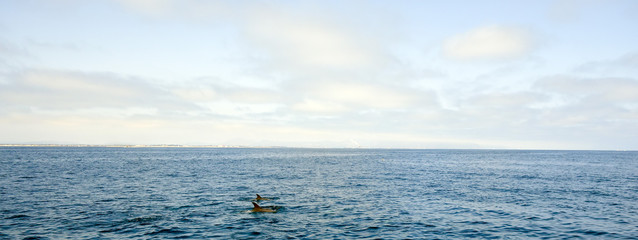 Dolphins swimming in front of Ventura coast line, Southern California