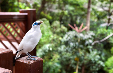 Bali Mynah bird at the Edward Youde Aviary, Hong Kong Park