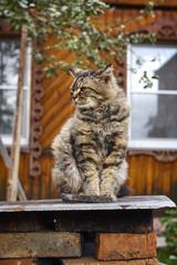 Proud siberian cat looking left side