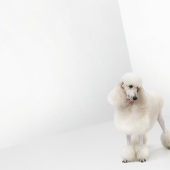 White poodle standing in a white room.