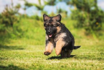 Fototapete - German shepherd puppy playing outdoors