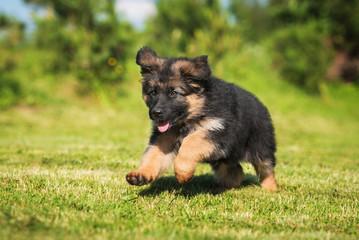 Wall Mural - Happy german shepherd puppy running