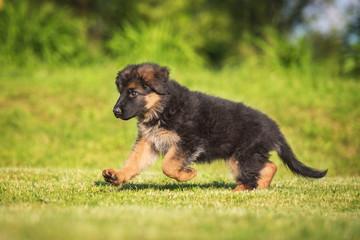 Wall Mural - German shepherd puppy running outdoors