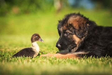 German shepherd puppy with a little duckling