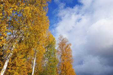 Yellow autumn trees, blue sky and clouds