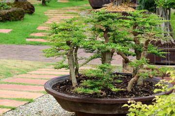beautiful bonsai tree in the garden