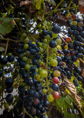 green and red grapes growing on a vineyard arbor
