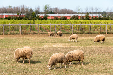 several sheep in a pen, vineyard in background