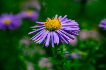 flowers in autumn, small purple Daisy macro photos