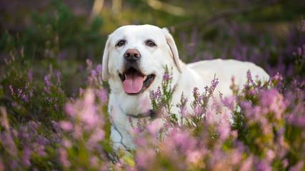 Labrador retriever dog in autumn heather flowers