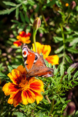 Peacock butterfly on flowers of Marigold