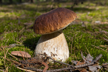Cep mushroom .Mushrooms in the moss in the forest.