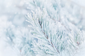 Christmas winter background from pine tree covered with hoarfrost, frost or rime in snowfall. Lovely landscape of nature.