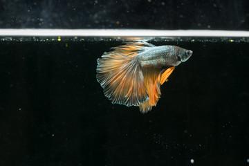 siamese fighting fish. beautiful tail of betta splendens half moon fish on black background.