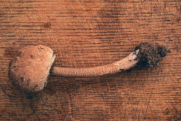 macrolepiota procera mushroom