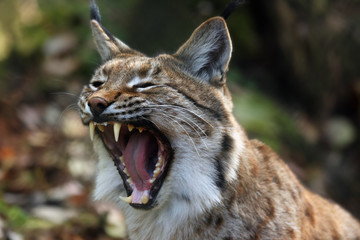 Photo sur Aluminium Lynx The Eurasian lynx (Lynx lynx) or carpathian lynx, deatail of the head with open mouth during yawning