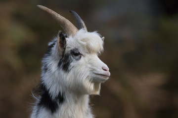 feral goat portraits with autumn background